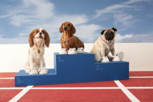 Fun shot of three small dogs on a winners podium. Spaniel, Daschund and Pug.