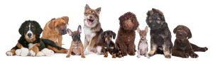 large group of puppies on a white background.from left to right, Bernese Mountain Dog, mixed breed mastiff, French Bulldog, Finnish Lapphund, Dachshund, Labradoodle, chihuahua, German Shepherd and a chocolate Labrador