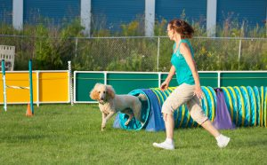 Dog and handler working together in agility competition, poodle coming out of tunnel.