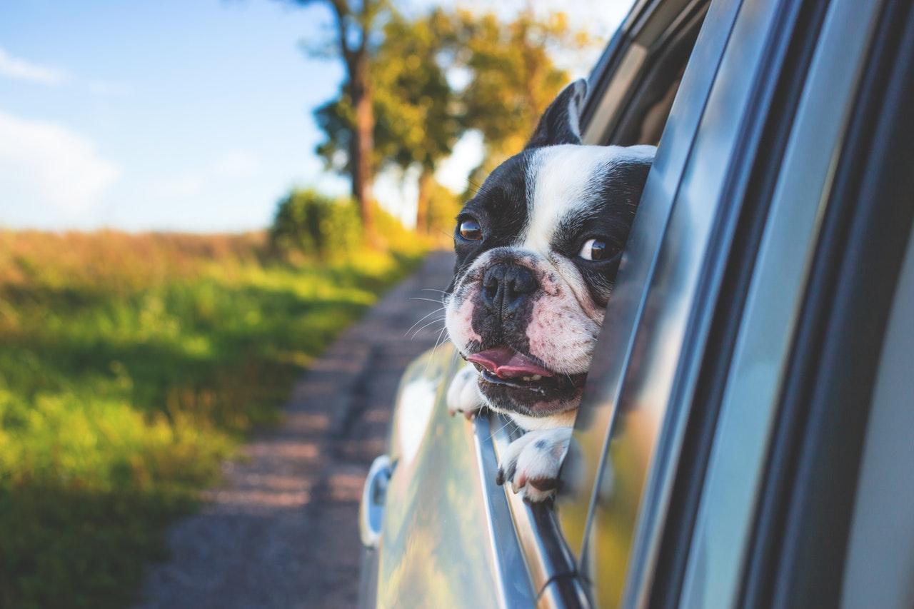 Hund som åker bil