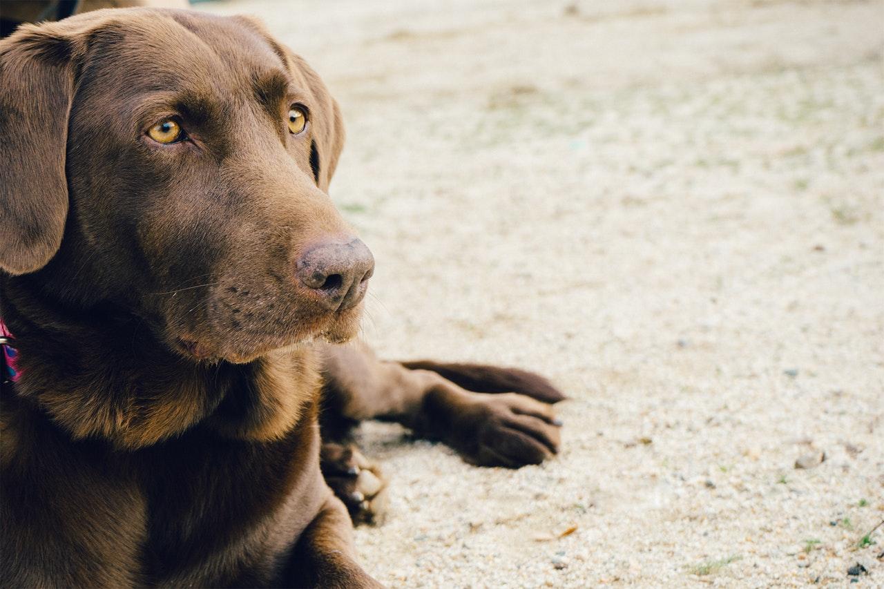 Labrador är en vanlig jakthund