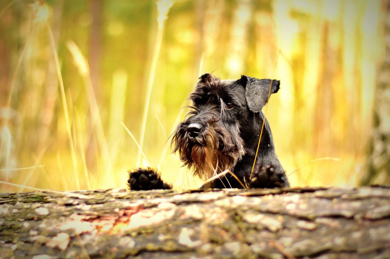 Hund ute på jakt